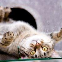 Кошка кверху пузом :: YurIG