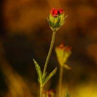 цветы осенние :: Александр Шурпаков