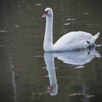 Белый лебедь 5 :: Дмитрий Симонов