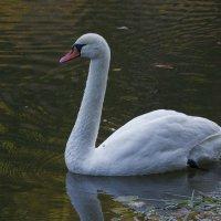 Белый лебедь 4 :: Дмитрий Симонов