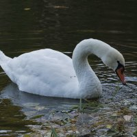 Белый лебедь 3 :: Дмитрий Симонов