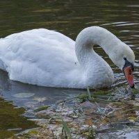 Белый лебедь 2 :: Дмитрий Симонов