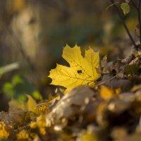 ...ты мне приснись, жёлтый лист кленовый :: Алексей Соминский