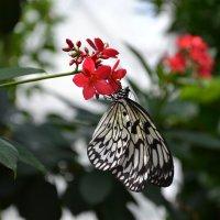 Butterfly :: Irina Gor