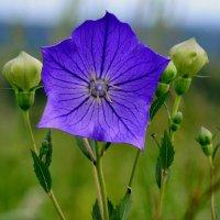 Полевые цветы :: Хон-Гер Ким