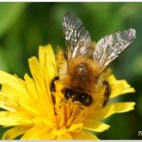 Пчела за работой :: Andrey Tsarev