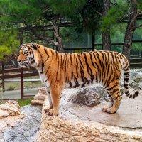 Tiger!... Во всей красе... :: Елена Васильева
