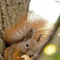 The Squirrel with nut again :: Roman Ilnytskyi
