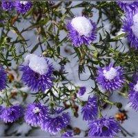 Поздние цветы в снегу :: galina tihonova