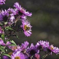 Пчёлка опыляет цветочки :: Сергей Мосякин