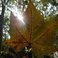 золотой лист :: марина давидовская