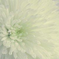 Астра цветок :: Lidiya Dmitrieva