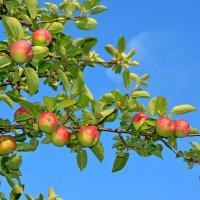 яблоки в саду :: Александр Сергеев
