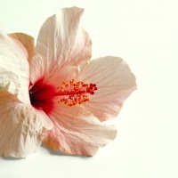 Pink hibiscus flower :: Lidiya Dmitrieva