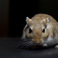 Мышь песчанка. :: Николо Пагани