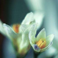Колумбов цветок 2 :: Александр Русанюк