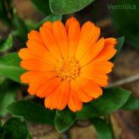 Цветочек :: Вероника Подрезова