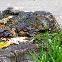 Осенние грибки на пне.. :: Юрий Стародубцев