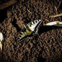Butterfly :: Stanislav Baynov