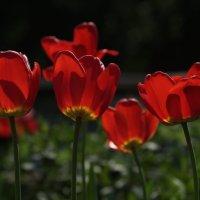 тюльпаны :: НаталиКа