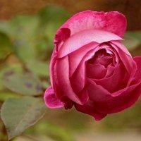 Роза :: Казимир Буйвис