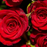 Розы :: Антон Бородулин