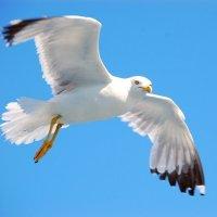 Чайка :: Valeriy Somonov