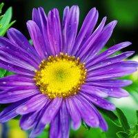 Фиолетовая ромашка :: Viela ^_^