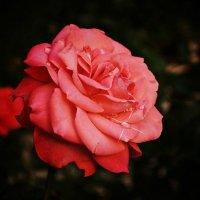 роза :: Надежда Колупаева