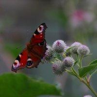 Бабочка :: Victor Klyuchev