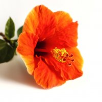 Red hibiscus flower :: Lidiya Dmitrieva