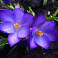 Цветики :: Виктория Тихонова