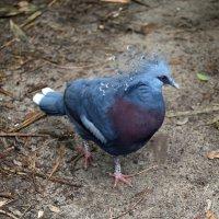 Большой голубь :: Яков Геллер
