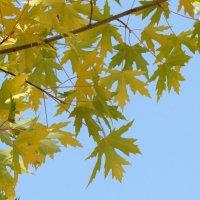 Клен осень встречает :: Венера Цой