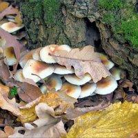 Лист дубовый на грибах :: Юрий Стародубцев