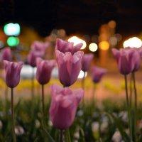 Тюльпаны :: сАха везянК