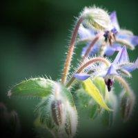 Огуречная трава :: Евгеша Сафронова