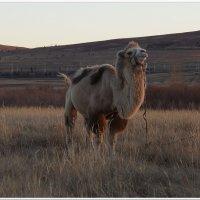 Гордый верблюд Забайкалья :: Andrey Tsarev