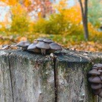 Пень с грибами :: Юрий Стародубцев