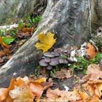 Кленовый лист и грибы.. :: Юрий Стародубцев