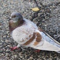 Важный голубь :: Svetlana Shumilova