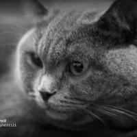 породистый котик :: юрий мотырев