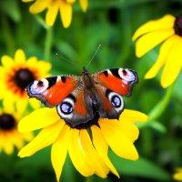Бабочка :: Виктория Юшина