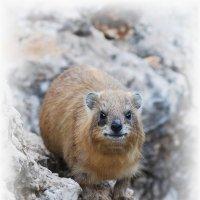 горный заяц- Procaviidae :: Shmual Hava Retro