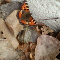 Бабочка,) :: Алёна Ануфриева