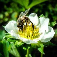 Пчелка :: Виктория Юшина