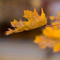 Воздушность осенних листьев :: Алексей Соминский