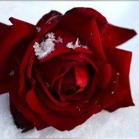 На снег упала  роза алая :: galina tihonova