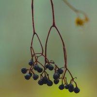 засохший виноград :: Александр Шурпаков