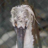 Уральский пеликан) :: Алена Афанасьева
